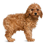 Poodle puppy, 2 months old, standing in front of white background