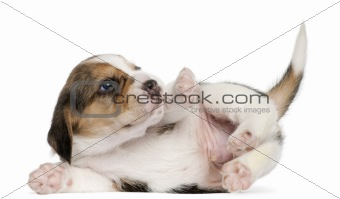 Beagle Puppy, 1 month old, lying in front of white background