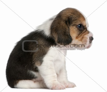 Beagle Puppy, 1 month old, sitting in front of white background
