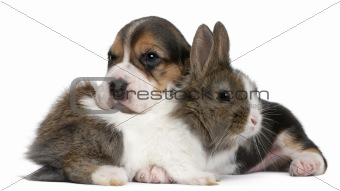 Beagle Puppy, 1 month old, and a rabbit in front of white background