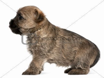 Cairn Terrier Puppy, 6 weeks old, in front of white background