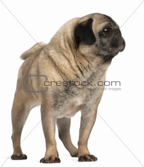 Old pug, 6 years old, standing in front of white background