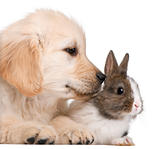 Close-up of Golden Retriever puppy, 20 weeks old, and a rabbit in front of white background