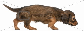 Dachshund puppy, 5 weeks old, walking in front of white background