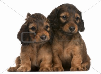 Dachshund puppies, 5 weeks old, sitting in front of white background