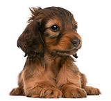 Dachshund puppy, 5 weeks old, lying in front of white background