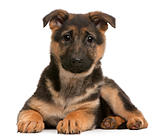German Shepherd puppy, 3 months old, lying in front of white background