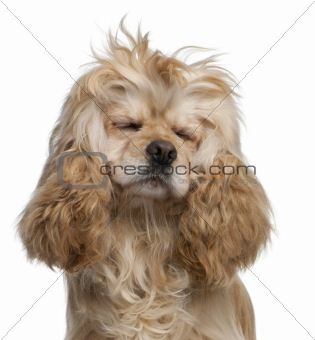 American Cocker Spaniel, 3 years old, with eyes closed in front of white background