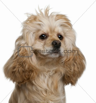 American Cocker Spaniel, 3 years old, in front of white background
