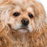 Close-up of American Cocker Spaniel, 3 years old, in front of white background