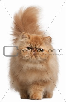 Persian kitten, 6 months old, in front of white background
