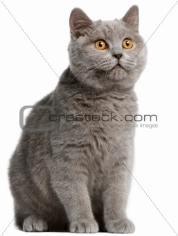British Shorthair kitten, 5 months old, in front of white background