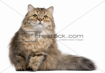 British Longhair cat, 1 year old, in front of white background