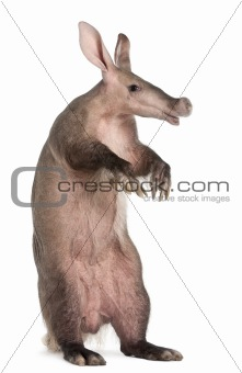 Aardvark, Orycteropus, 16 years old, standing in front of white background