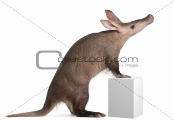 Aardvark, Orycteropus, 16 years old, standing on box in front of white background