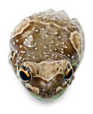 High angle view of Amazon Milk Frog, Trachycephalus resinifictrix, in front of white background
