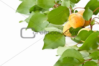 branch with apricots