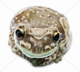 Amazon Milk Frog, Trachycephalus resinifictrix, in front of white background