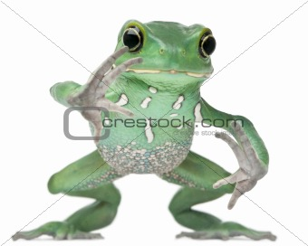 Waxy Monkey Leaf Frog, Phyllomedusa sauvagii, hopping in front of white background