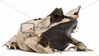 Long-nosed Horned Frog, Megophrys nasuta, 18 months old, in front of white background