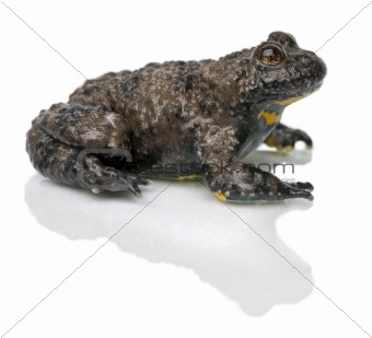 Yellow-Bellied Toad, Bombina variegata, in front of white background