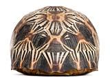 Radiated tortoise, Astrochelys radiata, in front of white background