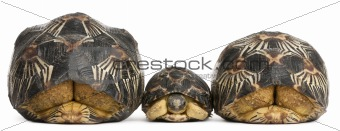 Three Radiated tortoises, Astrochelys radiata, in front of white background