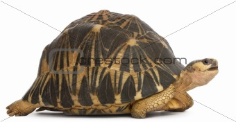 Radiated tortoise, Astrochelys radiata, in front of white background
