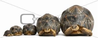 Five Radiated tortoises, Astrochelys radiata, in front of white background