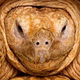 Close-up of African Spurred Tortoise, Geochelone sulcata