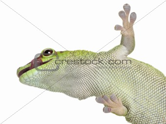 Low angle view of Madagascar day gecko, Phelsuma madagascariensis grandis, 1 year old, in front of white background