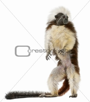 Cottontop Tamarin, Saguinus oedipus, standing in front of white background