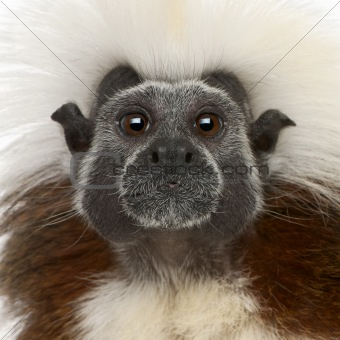Close-up of Cottontop Tamarin, Saguinus oedipus