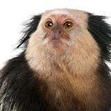 Close-up of White-headed Marmoset, Callithrix geoffroyi, in front of white background
