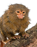 Pygmy Marmoset or Dwarf Monkey, Cebuella pygmaea, on log in front of white background
