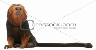 Golden-headed Lion Tamarin, Leontopithecus chrysomelas, sitting in front of white background