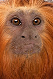 Close-up of Golden-headed Lion Tamarin, Leontopithecus chrysomelas