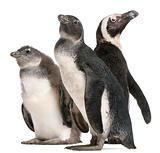 African Penguins, Spheniscus demersus, in front of white background