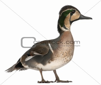 Baikal Teal duck, Anas formosa, in front of white background