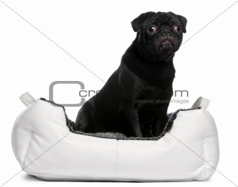 Black pug sitting in dog bed in front of white background