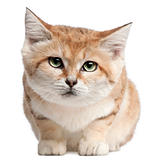 Sand cat, Felis margarita, 17 years old, sitting in front of white background