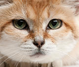 Close-up of Sand cat, Felis margarita, 17 years old