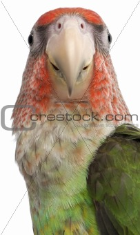 Close-up of Cape Parrot, Poicephalus robustus, 8 months old, in front of white background