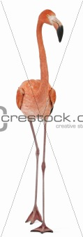 American Flamingo, Phoenicopterus ruber, 10 years old, standing in front of white background