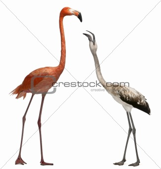 American Flamingo, Phoenicopterus ruber, 10 years old, and Greater Flamingo standing in front of white background