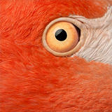 Close-up of American Flamingo eye, Phoenicopterus ruber, 10 years old,