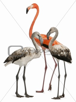Greater Flamingo, Phoenicopterus roseus, 8 months old, and American Flamingo, Phoenicopterus ruber, 10 years old, in front of white background