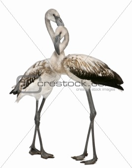 Greater Flamingo, Phoenicopterus roseus, 8 months old, standing in front of white background