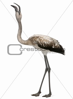 Greater Flamingo, Phoenicopterus roseus, 8 months old, in front of white background