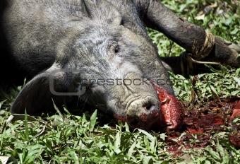 Toraja animal sacrifice
